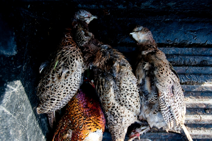 PHEASANT_SHOOT_071